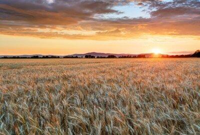 Quadro Campo de trigo ao pôr do sol