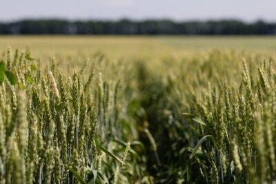 Quadro Campo de trigo em um dia de verão