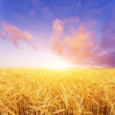 Quadro Campo de trigo no dia de verão em nova zelândia