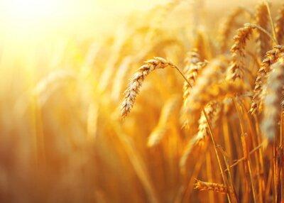 Quadro Campo de trigo. Orelhas de closeup dourado do trigo. Rural, paisagem, sob, brilhar, luz solar