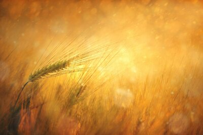Quadro Campo ensolarado do campo de trigo fundo de fantasia