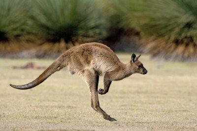 Quadro Canguru hopping dentro