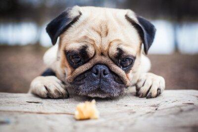 Quadro Cão de filhote de cachorro bonito do pug
