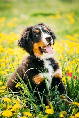 Quadro Cão de montanha de Bernese ou filhote de cachorro de Berner Sennenhund que senta-se no verde