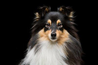 Quadro Cão de Sheltie