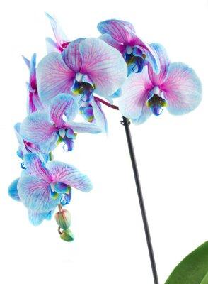 Quadro Caule, azul, orquídeas