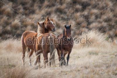 Quadro Cavalos selvagens de Kaimanawa com mais