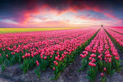 Quadro Cena dramática da mola na exploração agrícola da tulipa