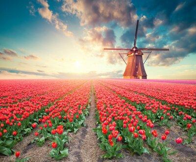 Quadro Cena dramática da primavera na fazenda tulipa. Por do sol colorido na Holanda, Europa.