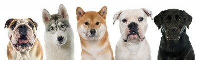 Quadro Cinco cães de raça pura