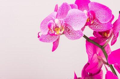 Quadro Close-up da flor da orquídea