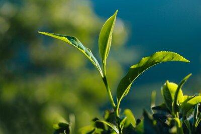 Quadro Close-up de folhas de chá frescas verdes na plantação.