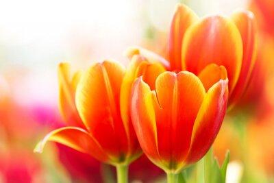 Quadro Close-up tulipa de laranja flor na natureza