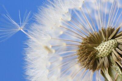 Quadro Closeup, dandelion, azul, fundo