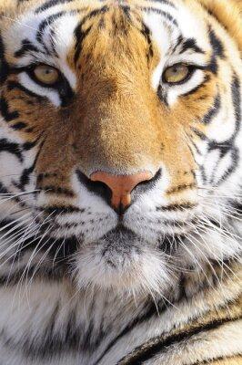 Quadro Closeup tiro Retrato de um tigre de Bengala