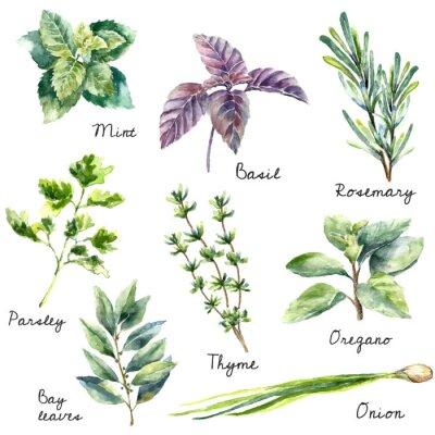 Quadro Coleção Aquarela de ervas frescas isolado.
