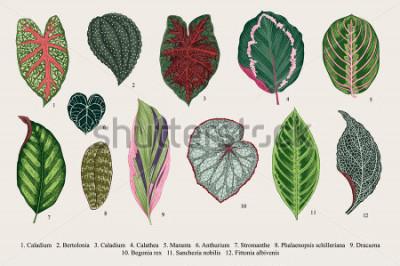 Quadro Conjunto de folhas. Exóticas Ilustração botânica de vetor vintage. Colorida.