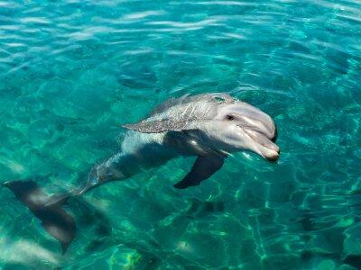 Quadro Dolphin sorri como Mona Lisa