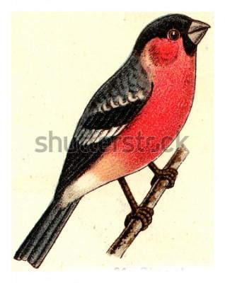 Quadro Dom-fafe, vintage ilustração gravada. De Atlas Deutch Birds of Europe.