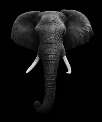 Quadro Elefante africano isolado