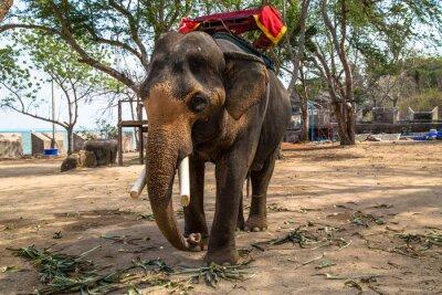 Quadro Elefante asiático