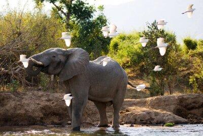 Quadro Elefante com garças brancas. Zâmbia. Baixa Zambeze National Park. Rio Zambeze. Uma excelente ilustração.