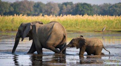 Quadro Elefante com o bebê que cruza o rio Zambezi.Zambia. Baixa Zambeze National Park. Rio Zambeze. Uma excelente ilustração.