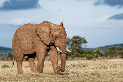 Quadro Elefante de touro