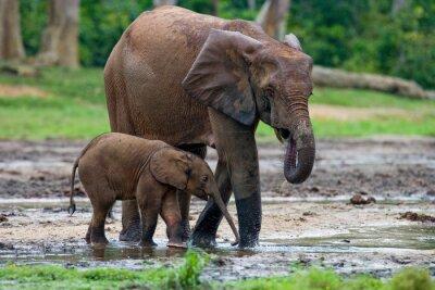 Quadro Elefante fêmea com um bebê. República Centro-Africana. República do Congo. Reserva Especial Dzanga-Sangha. Uma excelente ilustração.