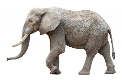 Quadro Elefante na frente de um fundo branco