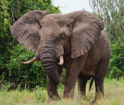 Quadro Elefante na savana. Tiro de balão de ar quente. África. Quênia. Tanzânia. Serengeti. Maasai Mara. Uma excelente ilustração.