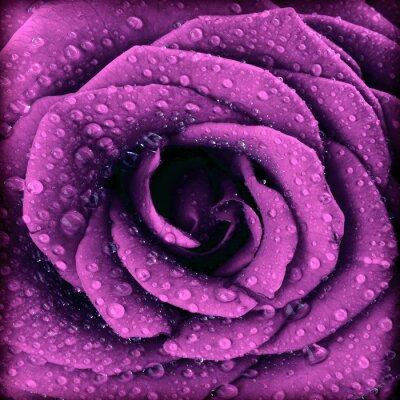 Quadro Escuro Purple rose fundo