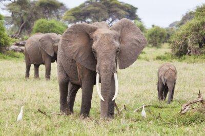 Quadro Família do elefante em Kenya