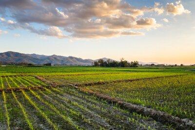 Quadro Fazenda de milho