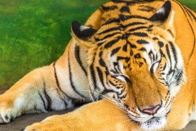 Quadro Feche acima de um tigre grande que dorme em ao ar livre, Tailândia, Ásia.