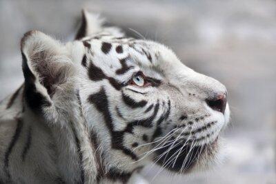 Quadro Feche acima do retrato de um tigre de bengal branco. O animal mais bonito e muito perigoso animal do mundo. Esta ave de rapina grave é uma pérola da vida selvagem. Retrato da face do animal.