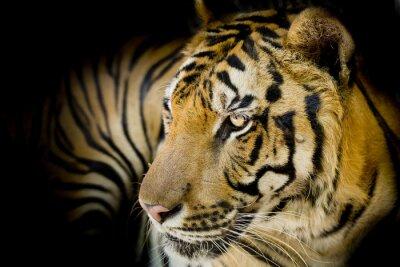 Quadro Feche acima do tigre