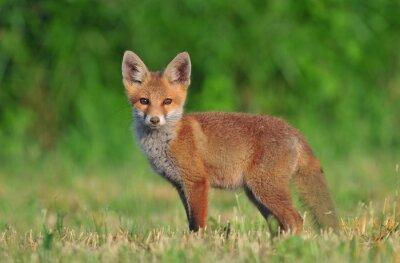 Quadro Filhote da raposa vermelha