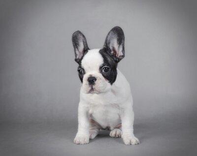 Quadro Filhote de cachorro do buldogue francês