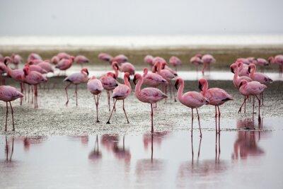 Quadro Flamingos in Wallis Bay, Namibia, Africa