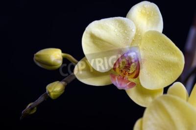Quadro flor colorida bonito da orquídea, phalaenopsis no fundo preto