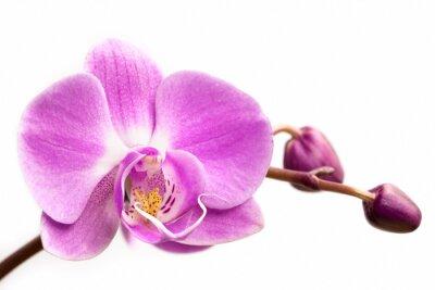 Quadro Flor cor-de-rosa da orquídea em um fundo branco. Flor da orquídea isolada.
