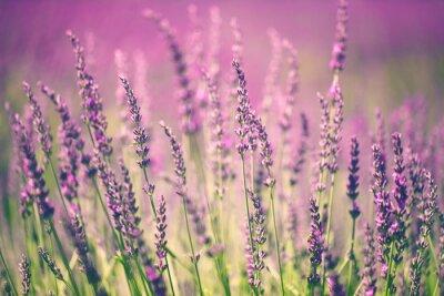 Quadro Flor da alfazema