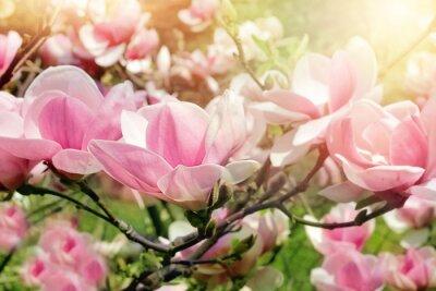 Quadro Flor da árvore de magnólia