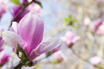 Quadro Flor, magnólia, florescendo