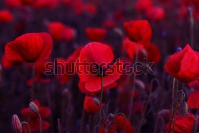 Quadro Flor vermelha das papoilas das flores no campo selvagem. Papoilas vermelhas do campo bonito com foco seletivo. Tonificação Processamento criativo na chave baixa escura