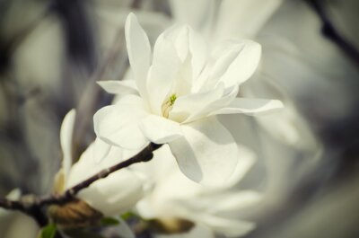 Quadro Flores brancas da magnólia