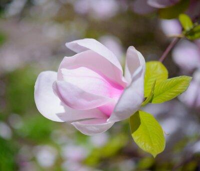 Quadro Flores cor-de-rosa bonitas da magnólia. Fundo da mola