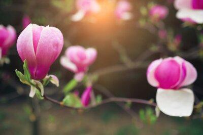 Quadro Flores da magnólia