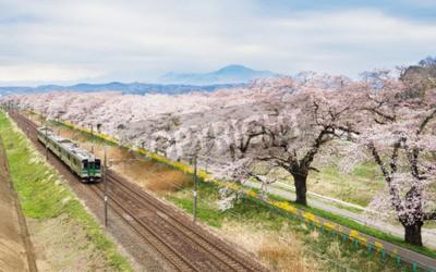 Quadro Flores de cerejeira ou Sakura e trem local